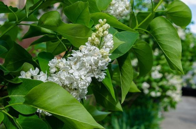 Piękna luksusowa świeża wiązka biały bez na krzaku w ogródzie. krzew ogrodowy, kwitnące wiosną, świeży aromat.