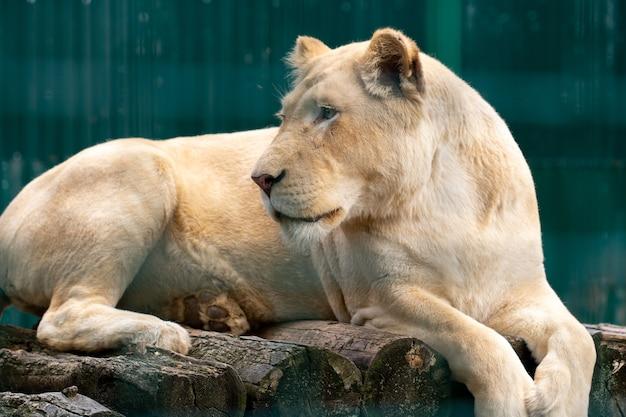 Piękna lwica leży na kamieniu i patrzy w bok