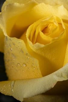 Piękna makro żółta róża