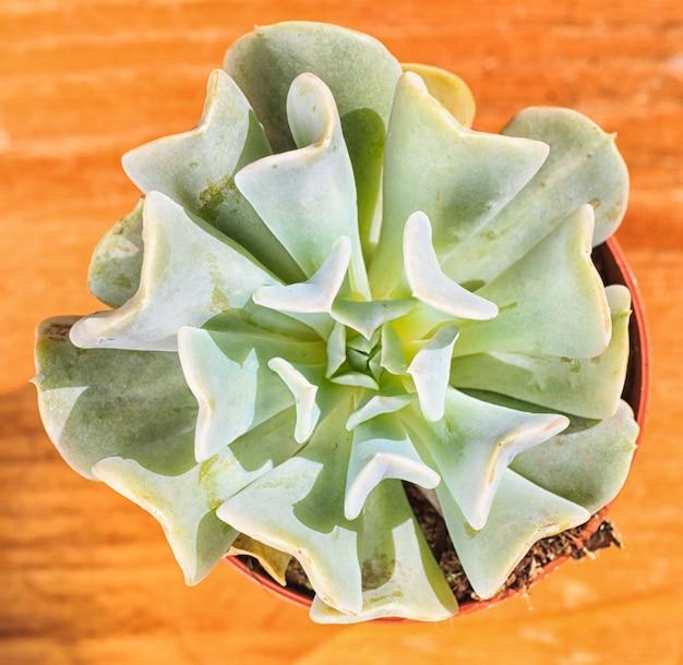 Piękna mała roślina, soczysta w małej doniczce
