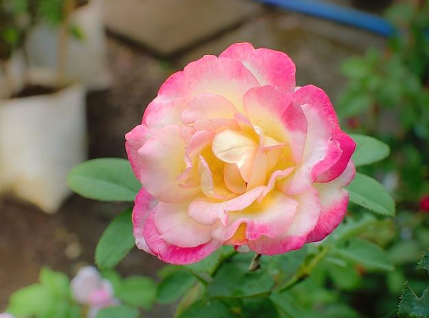 Piękna menchii róża przy ogródem w ranku świetle słonecznym.