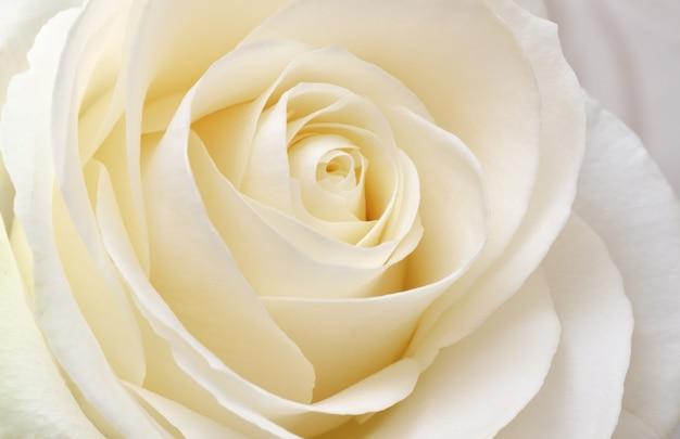 Piękna miękka, świeża biała róża