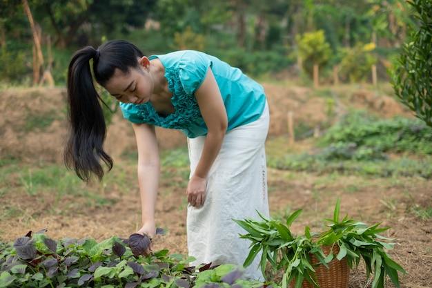 Piękna młoda ogrodniczka asia kobieta z koszem z zebranymi świeżo szpinakowymi warzywami w ogrodach, kobiety w swoim ogrodzie warzywnym, czerwone warzywo amarantowe nazwa naukowa: amaranthus tricolor