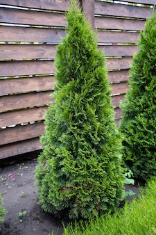 Piękna młoda zielona tuja na tle drewnianego ogrodzenia.