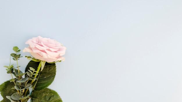 Piękna naturalna róża z miejsca kopiowania