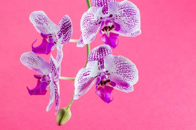 Piękna orchida na różowym