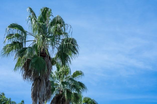 Piękna palma na zachmurzonym tle błękitnego nieba