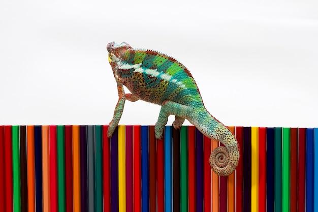 Piękna pantery kameleona