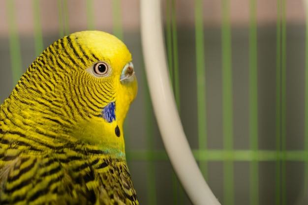 Piękna Papuga Falista Jest Jasnozielona. Zielony, żółty I Niebieski Budgie Australijska Papuga Siedzi W Klatce. ładny Budgie Zbliżenie I Kopia Przestrzeń. Premium Zdjęcia