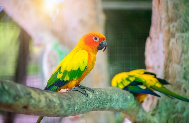 Piękna papuga lovebird siedząca na gałęzi