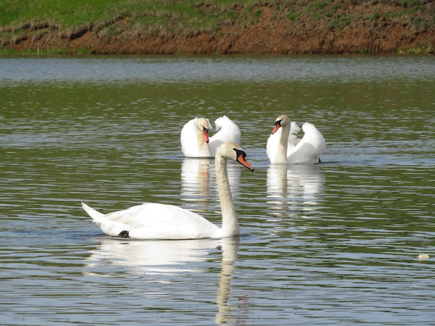 Piękna para białych łabędzi na jeziorze