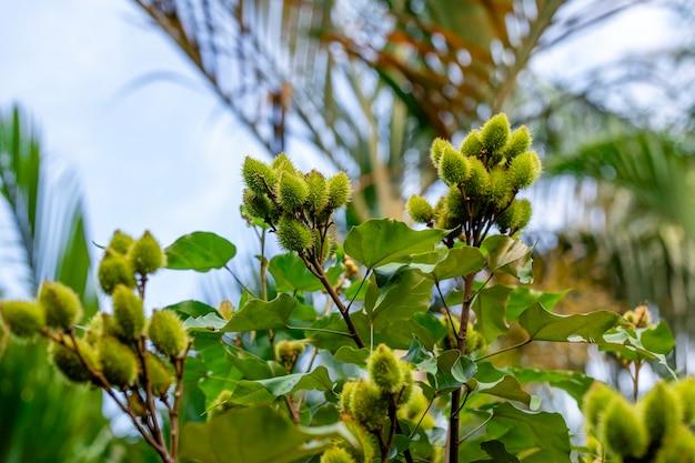 Piękna plantacja annato urucum w słoneczny dzień z chmurami na niebieskim niebie.