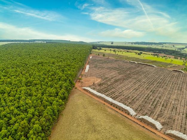 Piękna plantacja eukaliptusa i przycięte do ziemi pnie eukaliptusa.