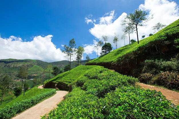 Piękna plantacja herbaty na zachmurzonym niebie