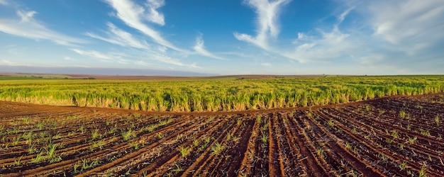 Piękna plantacja trzciny cukrowej. panoramiczny.