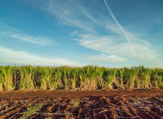 Piękna plantacja trzciny cukrowej w brazylii