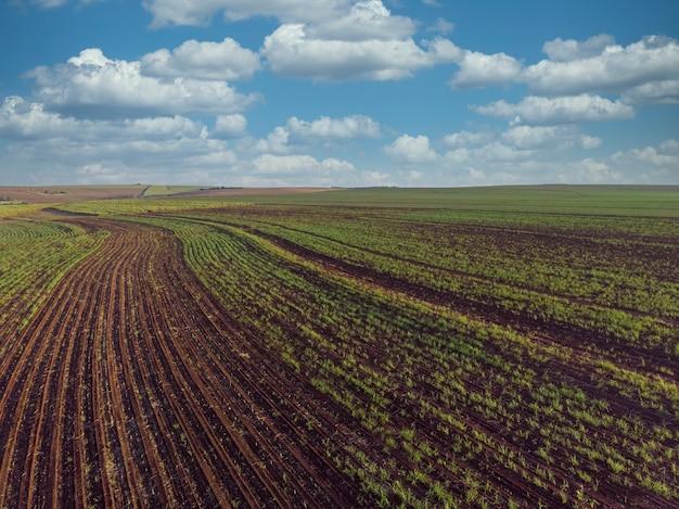 Piękna plantacja trzciny cukrowej w brazylii.