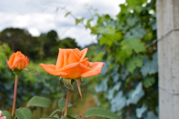 Piękna plantacja winogron z różami
