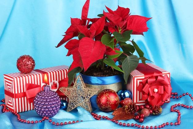 Piękna poinsecja z bombkami i prezentami na niebieskim tle tkaniny