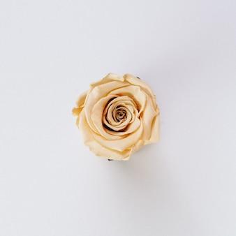 Piękna pojedyncza kremowa róża na białym tle
