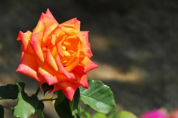 Piękna pomarańczowa róża