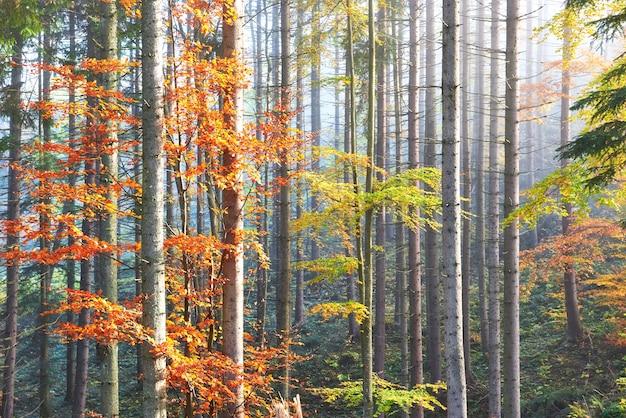 Piękna poranna mgła i promienie słoneczne w jesiennym lesie sosnowym.