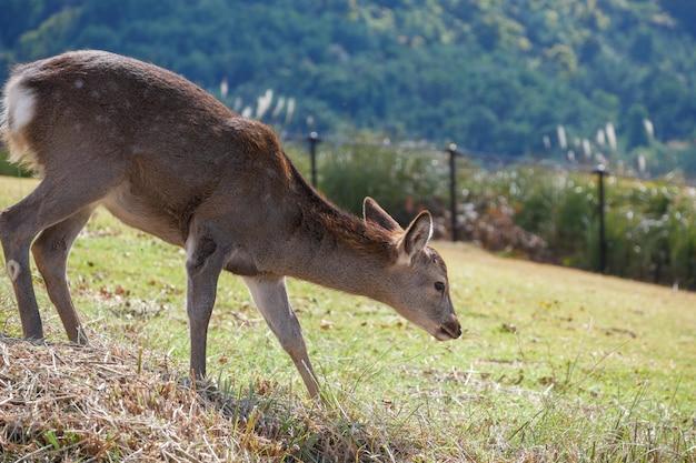 Piękna przyroda jelenia w parku nara. koncepcja podróży japonii
