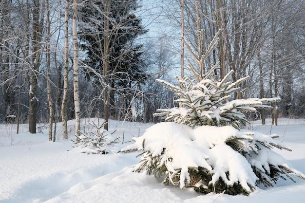 Piękna przyroda północy, naturalny krajobraz z dużymi drzewami w mroźną zimę