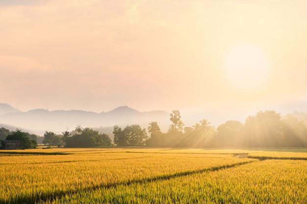 Piękna ranek mgła w ryżowym polu.