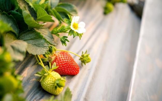 Piękna roślina truskawkowa