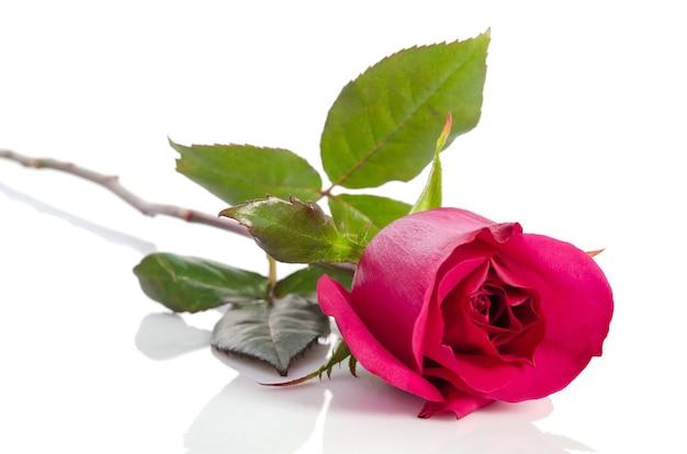 Piękna róża aksamitna na białym tle