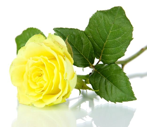 Piękna róża na białym tle