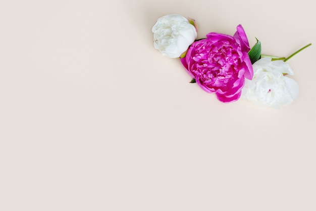 Piękna różowa biała peonia na lekkim tle