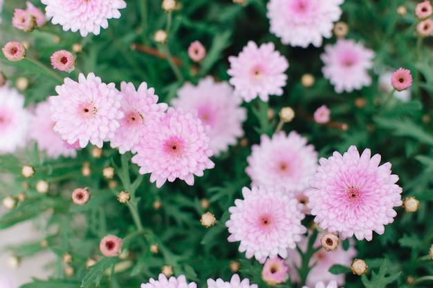 Piękna różowa chryzantema