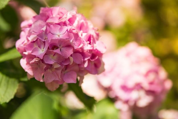 Piękna różowa hortensja lub hortensia kwitniemy na naturalnym pogodnym zakończeniu up. letnie kwiaty