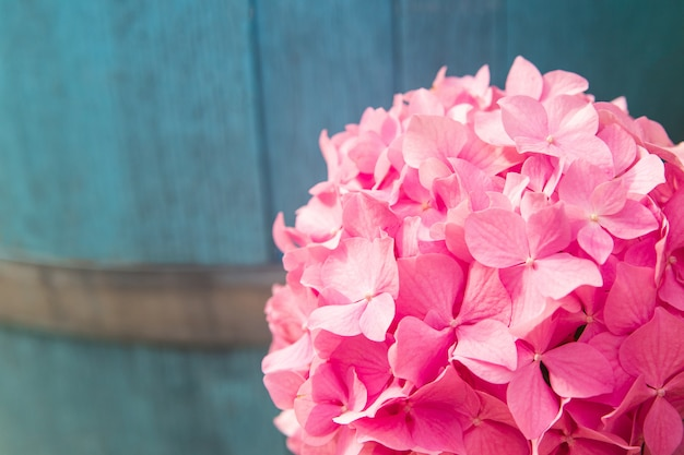Piękna różowa hortensja lub hortensja. letnie kwiaty z bliska