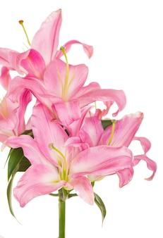 Piękna różowa lilia, na białym tle