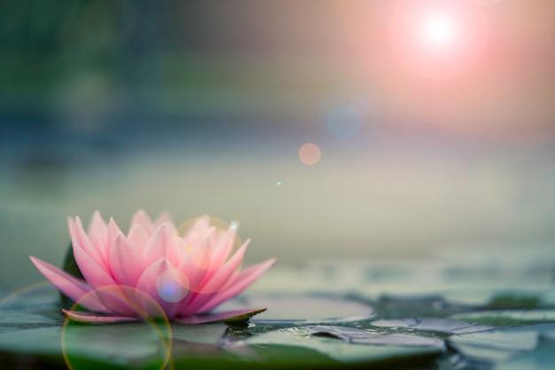 Piękna różowa lilia wodna lub lotos ze światłem słonecznym w stawie.