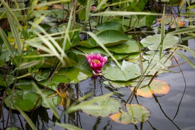 Piękna różowa lilia wodna na jeziorze w parku