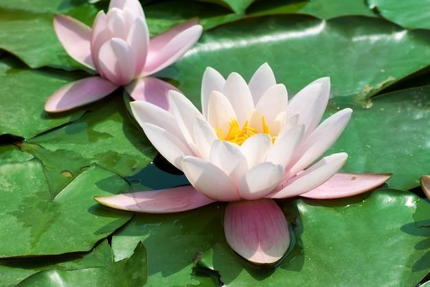 Piękna różowa lilia wodna (nymphaea alba) w stawie