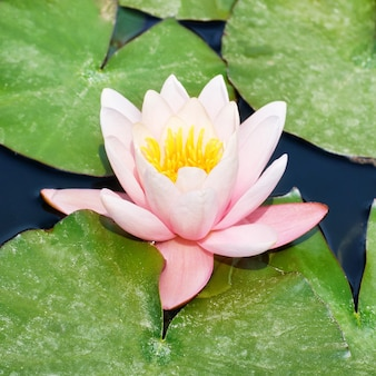 Piękna różowa lilia wodna nymphaea alba w stawie