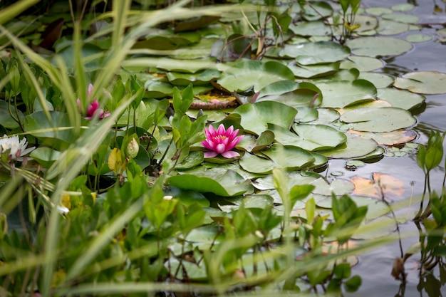 Piękna różowa lilia wodna w stawie w parku