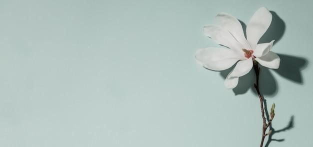 Piękna różowa magnolia kwitnie na błękitnym tle. widok z góry. leżał płasko. wiosna minimalistyczna koncepcja