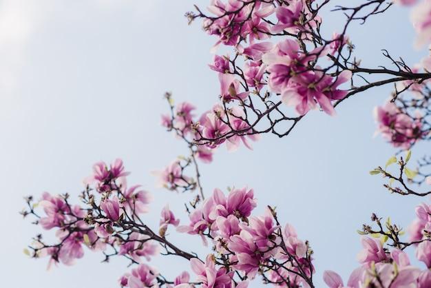 Piękna różowa magnolia kwitnie na drzewie, selekcyjna ostrość, naturalny pojęcie