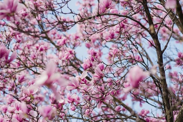 Piękna różowa magnolia kwitnie na drzewie