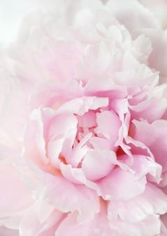 Piękna różowa peonia kwitnie tło