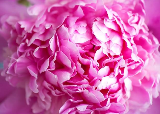 Piękna różowa piwonia tło w stylu vintage. piękne kwiaty, piwonie. bukiet różowych pionków tła. bujne płatki biało-różowej piwonii, zbliżenie. różowe piwonie, rozmycie, nieostrość,