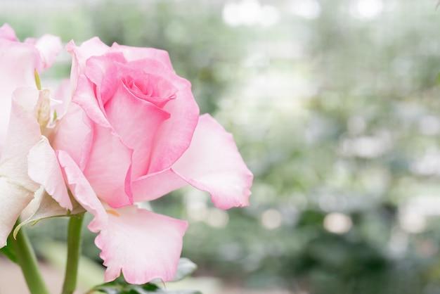 Piękna różowa róża. roślina ozdobna uprawiana w ogrodzie.