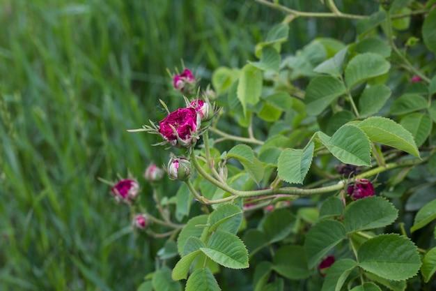 Piękna różowa róża w ogrodzie na wiosnę