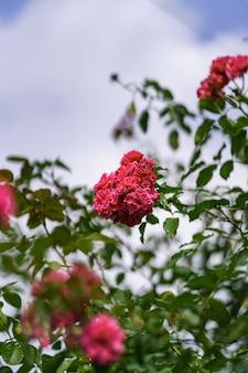 Piękna różowa róża w ogrodzie różanym latem z błękitnym niebem